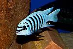 Нажмите на изображение для увеличения Название: chilumba-maisoni-reef.jpg Просмотров: 22 Размер:36.9 Кб ID:12538193